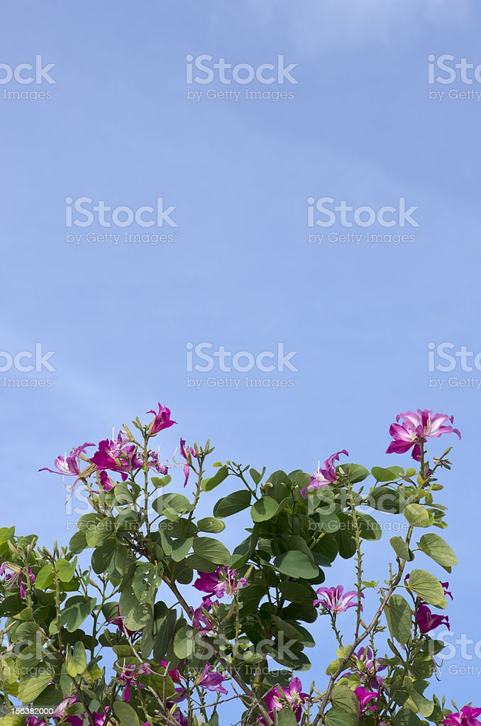 Butterfly Tree, Purple Bauhinia with blue sky royalty-free stock photo