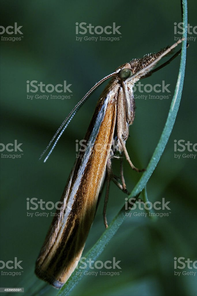 butterfly trichoptera on a green stock photo