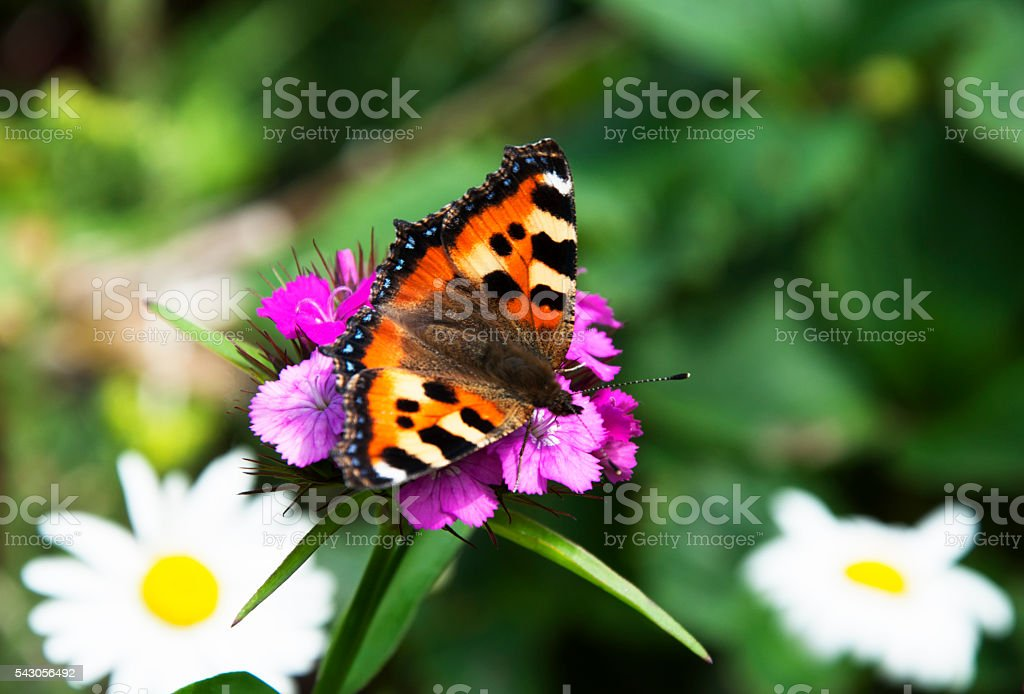 Butterfly urticaria on a flower stock photo