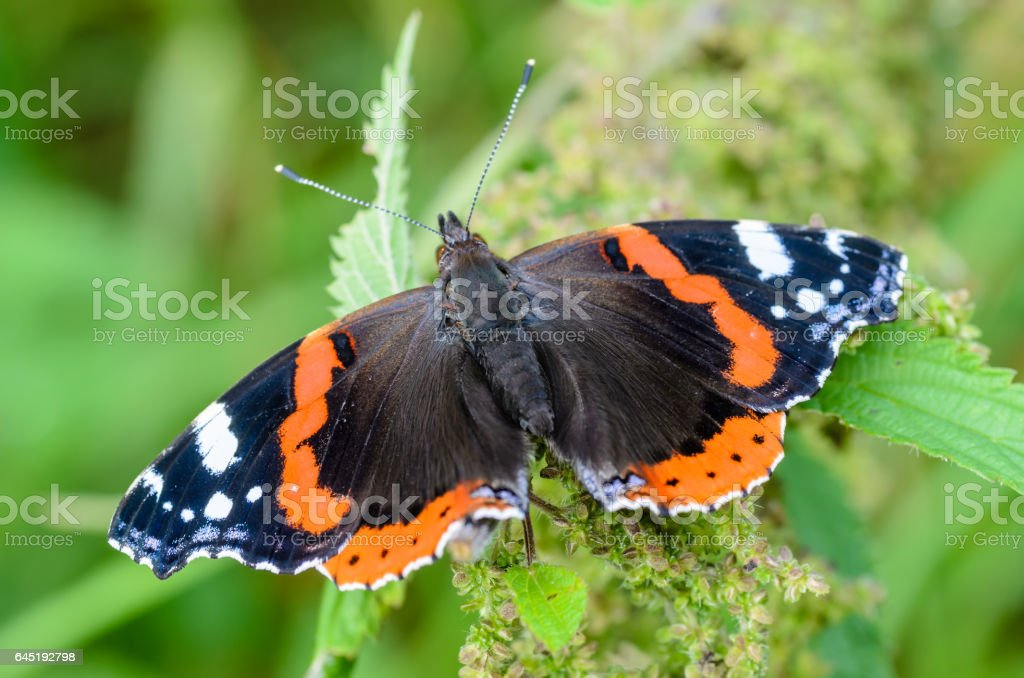 Butterfly vanessa atalanta stock photo