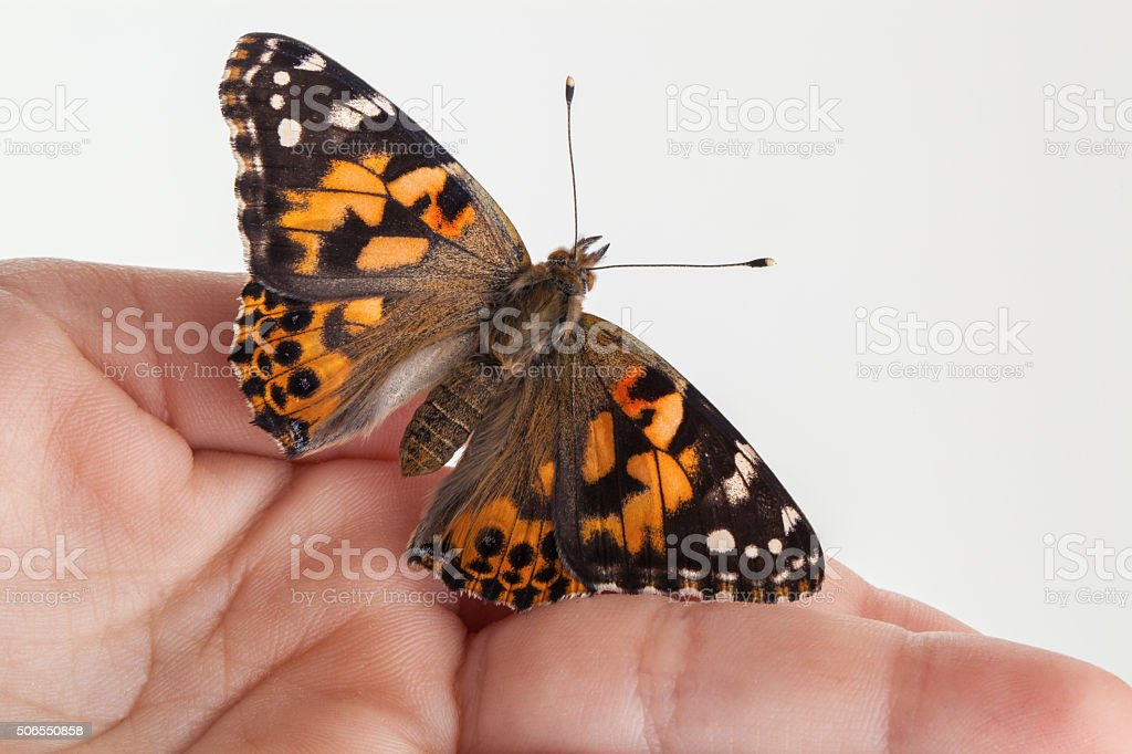 Butterfly - Vanessa Cardui stock photo