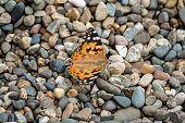 Butterfly Vanessa cardui sits on pebles. Painted lady butterfly. Background with a beautiful butterfly