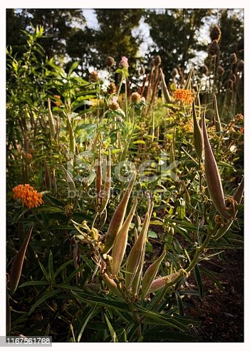 Butterfly weed seed pods in late summer.  iPhone