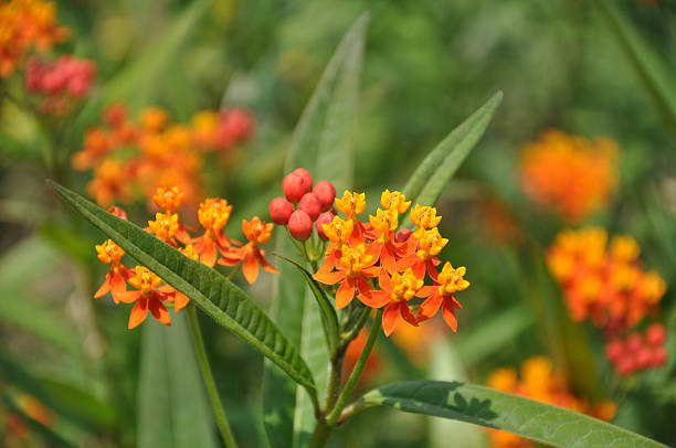 Butterfly Weed / Asclepias Curassavica / Blood Flower stock photo