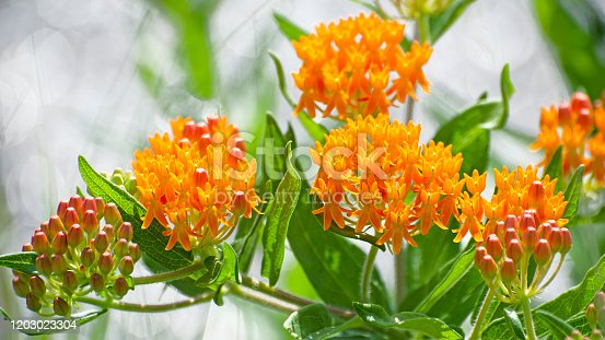 Orange butterfly weed, Asclepias tuberosa.