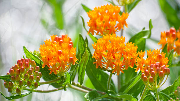 butterfly weed, Asclepias tuberosa stock photo