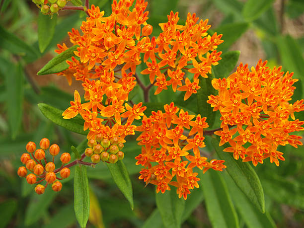 Butterfly Weed or Orange Milkweed from Above in NC stock photo
