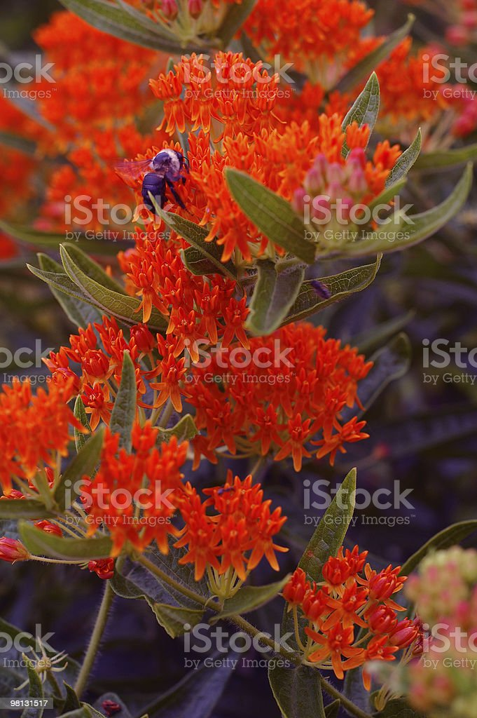 butterfly weed royalty-free stock photo
