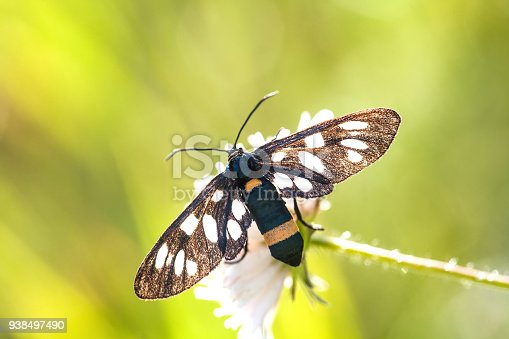 istock Butterfly with black wings on green plant. Nine-spotted moth or yellow belted burnet Amata Syntomis phegea, family Erebidae tiger moths 938497490