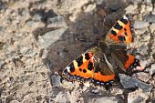 Butterfly with broken wing on gravel path