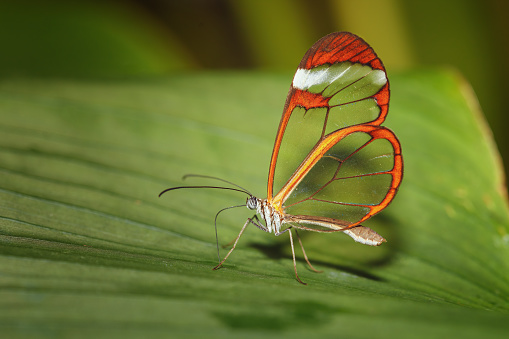 Butterfly with crystal wings, transparent and orange edges, of the Greta oto species, Nymphalidae family, Canary Islands