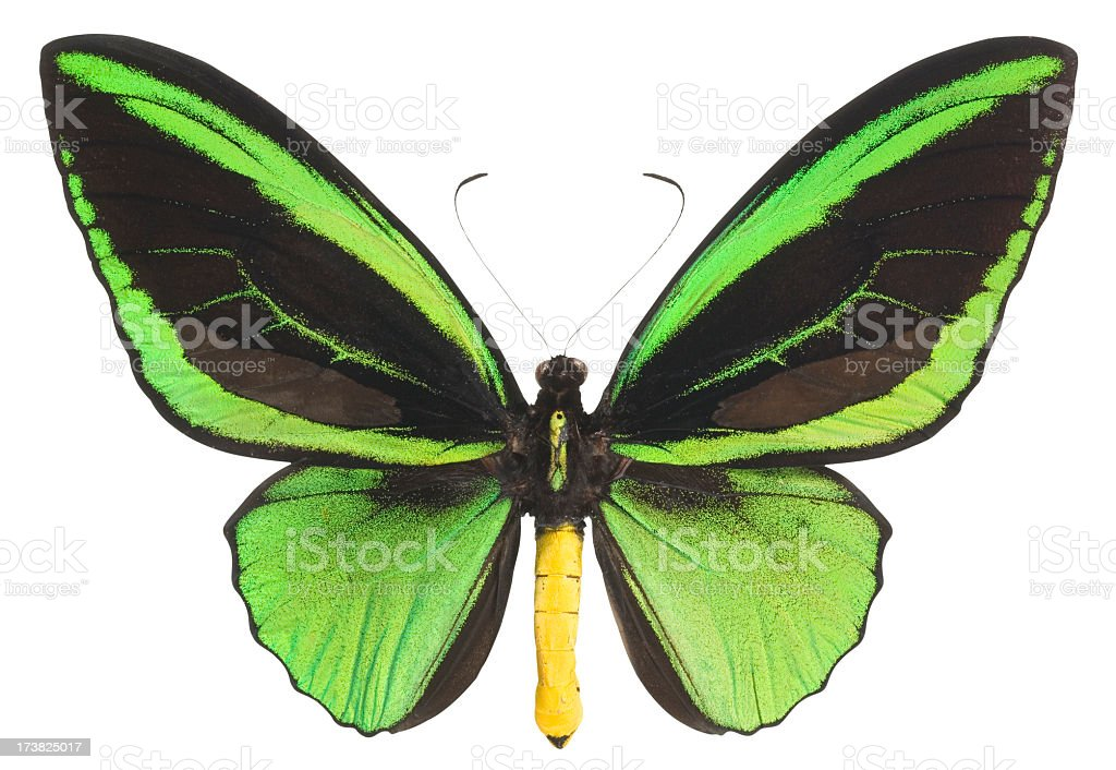 Butterfly (Lepidoptera) with Green and Black Wings. Clipping Path. stock photo