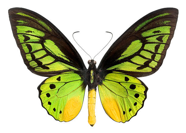 Butterfly with green black and yellow wings clipping path picture id157419607?b=1&k=6&m=157419607&s=612x612&w=0&h=lcfpo3md8yirqf7d89qdksbd8jicdd57wyrehrpd9oi=