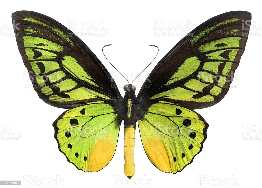 Butterfly (Lepidoptera) with Green, Black and Yellow wings. Clipping Path. stock photo
