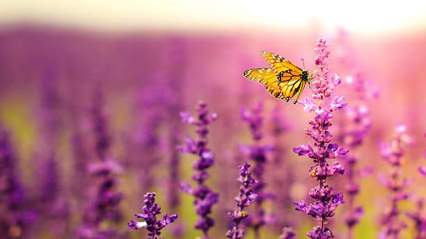 Butterfly with salvia flowers picture id493537657?b=1&k=6&m=493537657&s=612x612&w=0&h=scuvmabiei4ezfix5bcuihzmyo4g2ik y01pll0r jy=