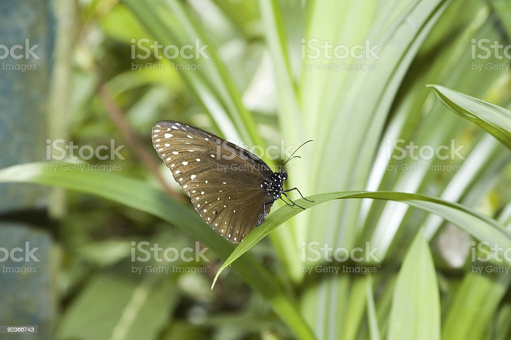 Butterfly with white spots on wings royalty-free stock photo