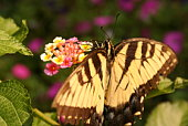 istock Butterfly with wings spread 90167783