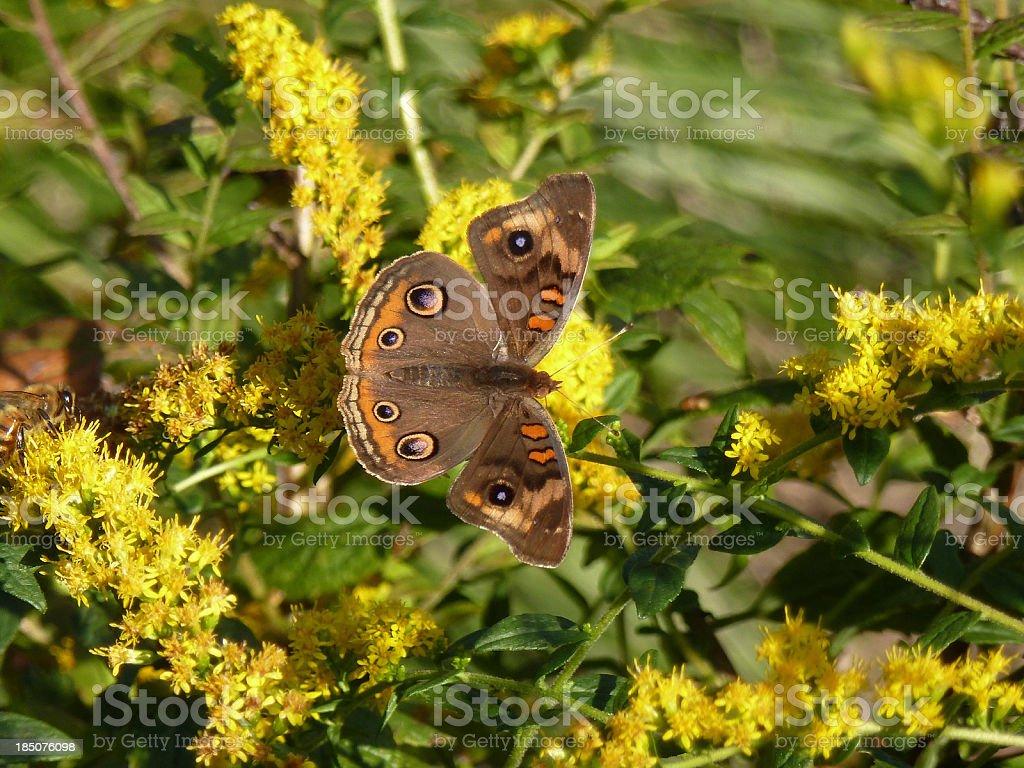 Butterfly & Yarrow stock photo