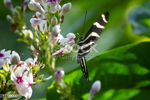 Zebra Longwing butterfly underside, with wings spread pearched on a flower.