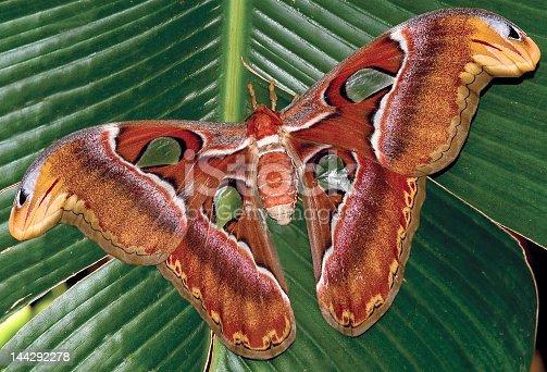 istock Butterfly-Atlas moth 144292278