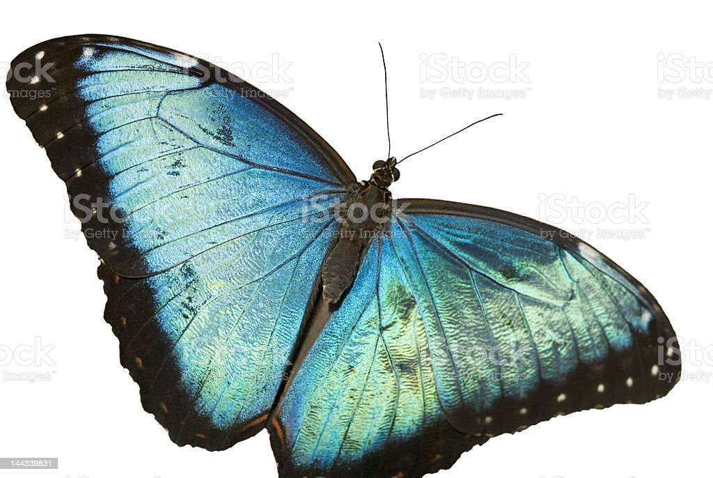 Butterfly-Blue morpho-Isolated on white stock photo