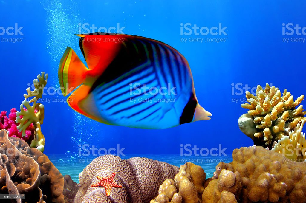 Butterflyfish and coral reef stock photo