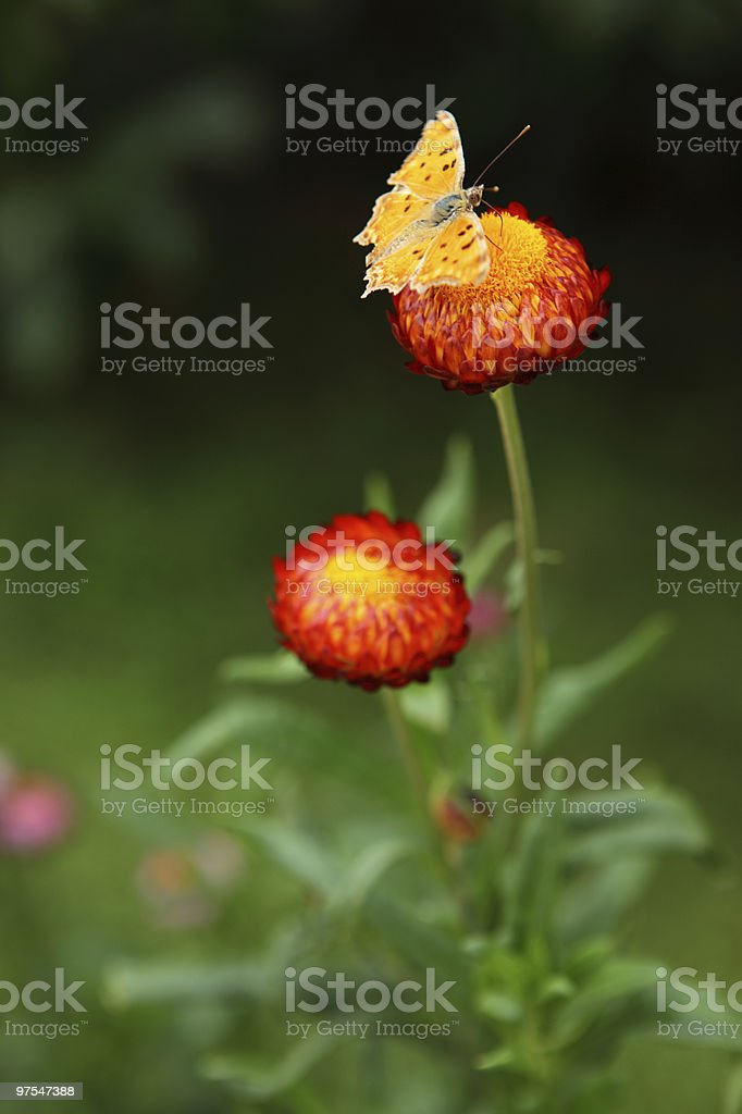 butterfly&flower royalty-free stock photo