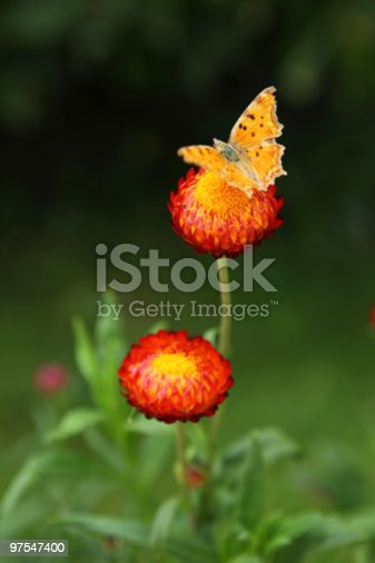 Butterflyflower Stock Photo & More Pictures of Animal