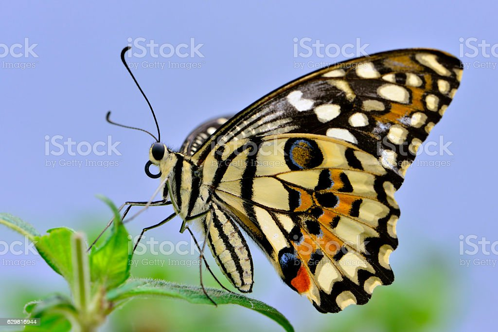 Butterfly,Large Tree Nymph stock photo