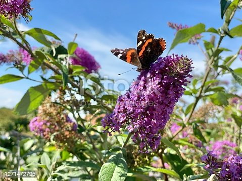 Butterflys sitting on the purple Buddleia in the garden
