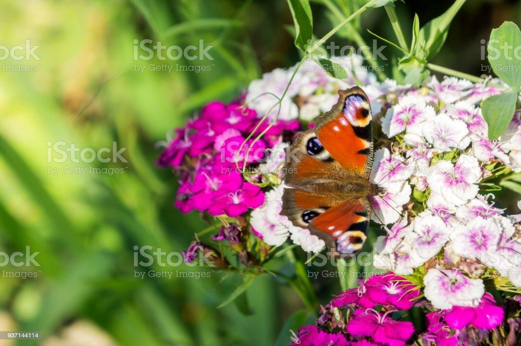 Schmetterlingurtikaria Sitzt Auf Einer Blume Eines Rosa Und Weiße ...
