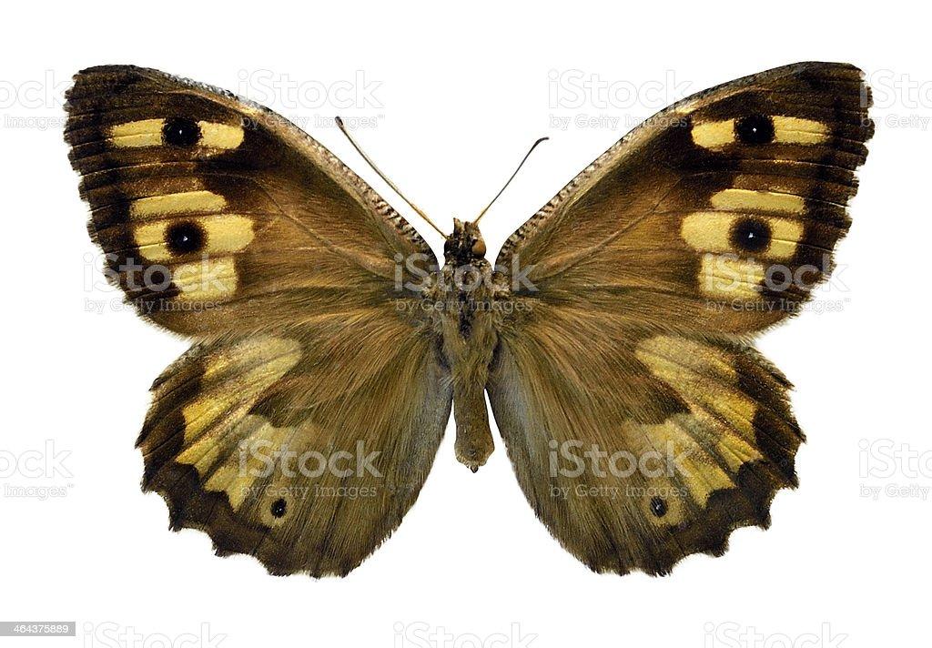 Butterfy Hipparchia delattini (Clipping path) royalty-free stock photo