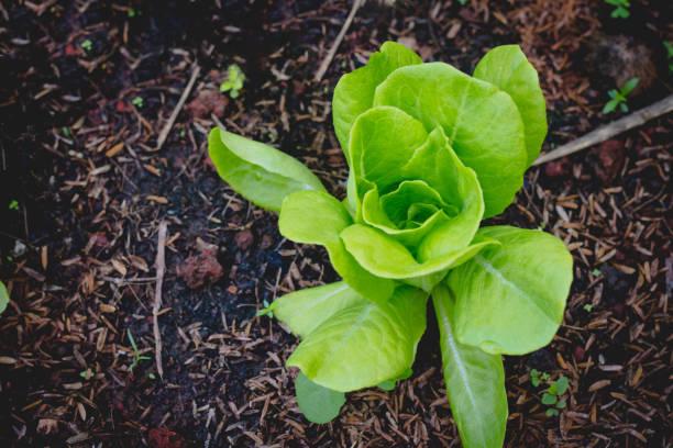 Butterkopfsalat auf Bio-Gemüse Salat Lebensmittel Hintergrund – Foto