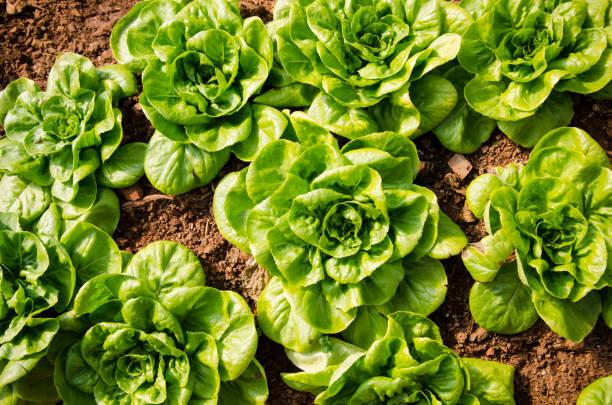 Butterhead Lettuce, Organic garden Butterhead Lettuce, Organic garden butterhead lettuce stock pictures, royalty-free photos & images