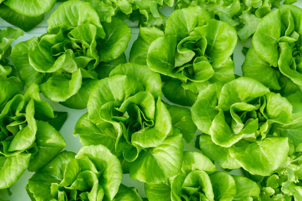 Butterhead lettuces top view background Top view of butterhead lettuces. butterhead lettuce stock pictures, royalty-free photos & images