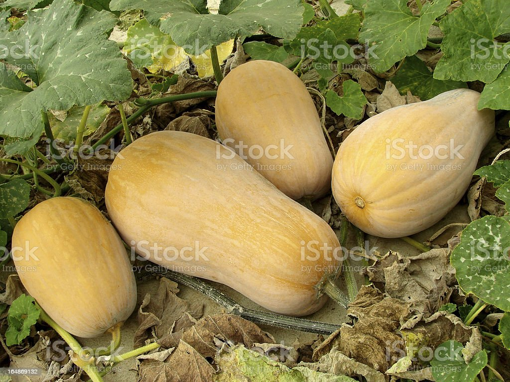 butternut squashes stock photo