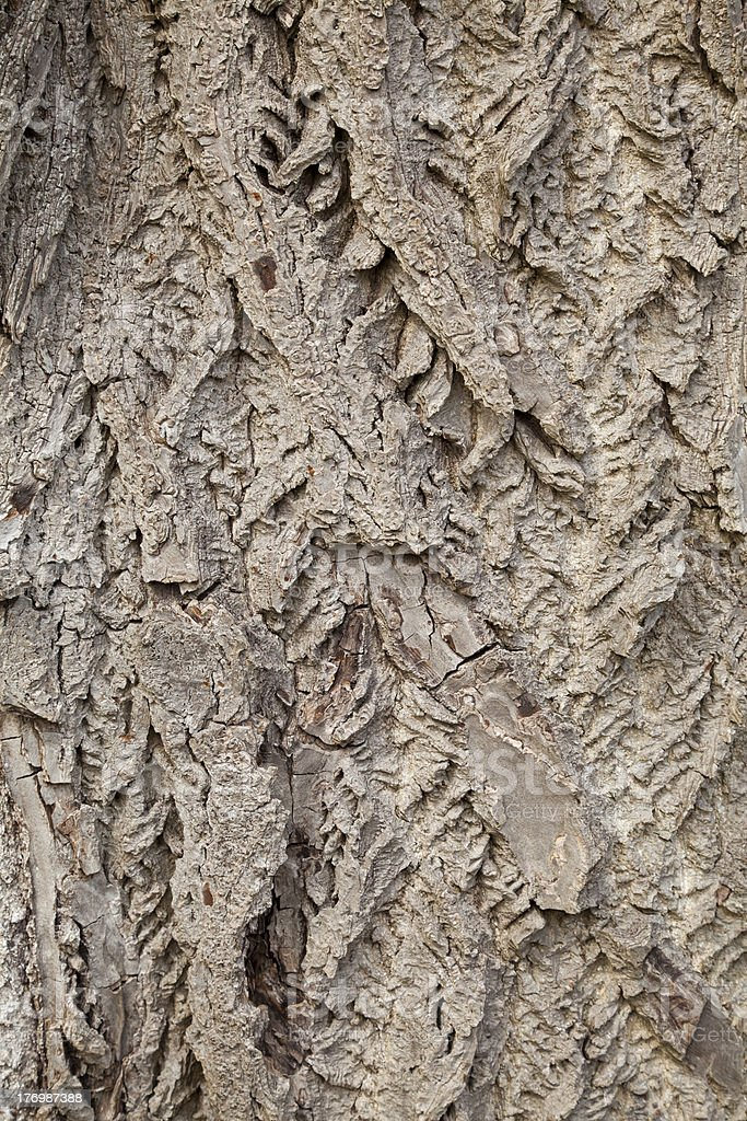 Butternut Tree Bark Background Stock Photo - Download Image