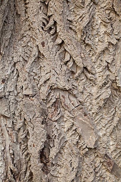 Butternut Tree Bark Background stock photo