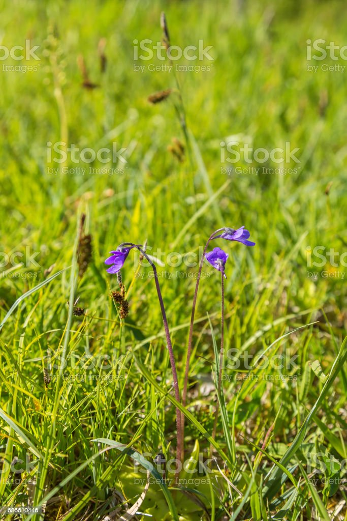 Butterwort flower blooming on a meadow royalty-free stock photo