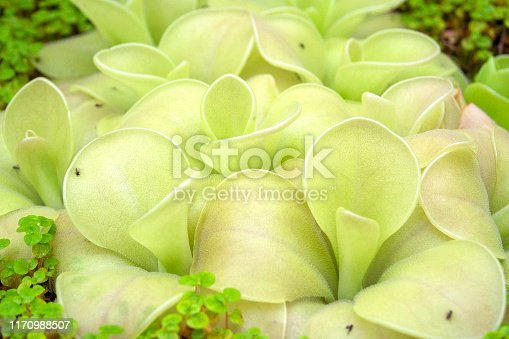 Close up of butterworts, Pinguicula cultivar.