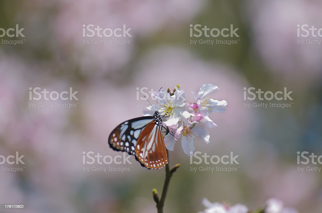 butteryfly with Cherry Blossoms royalty-free stock photo