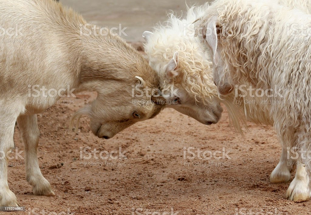 Butting Heads stock photo