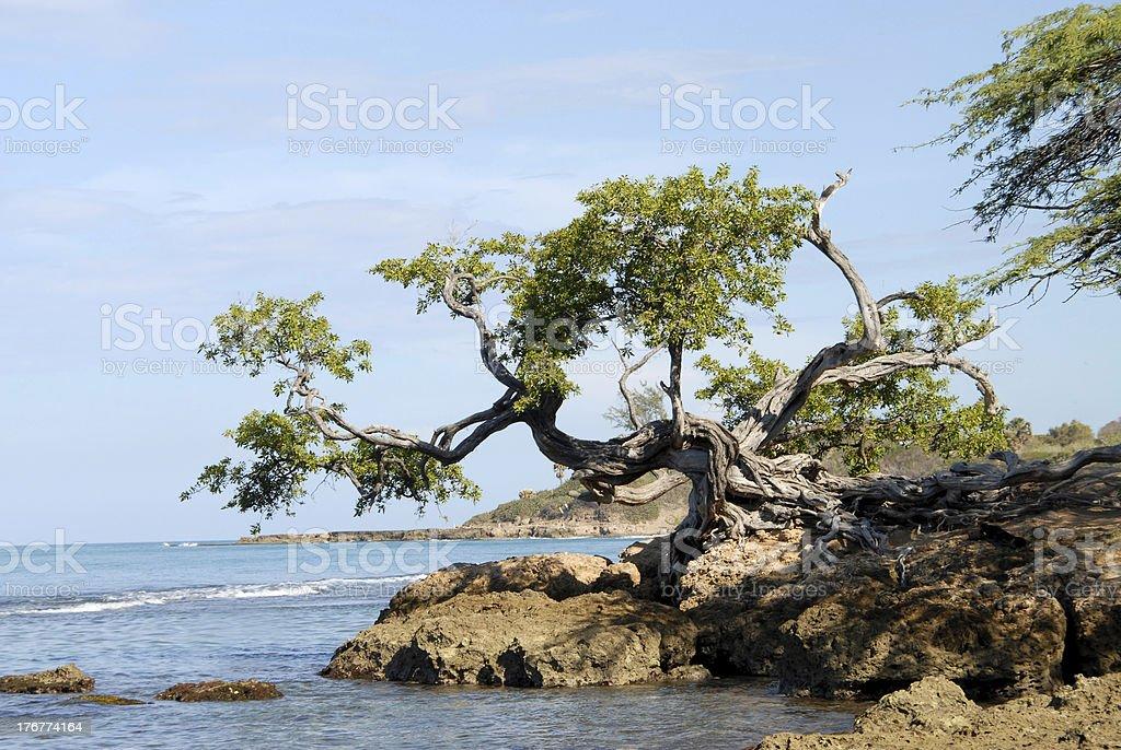 Buttonwood Tree, Jamaica royalty-free stock photo
