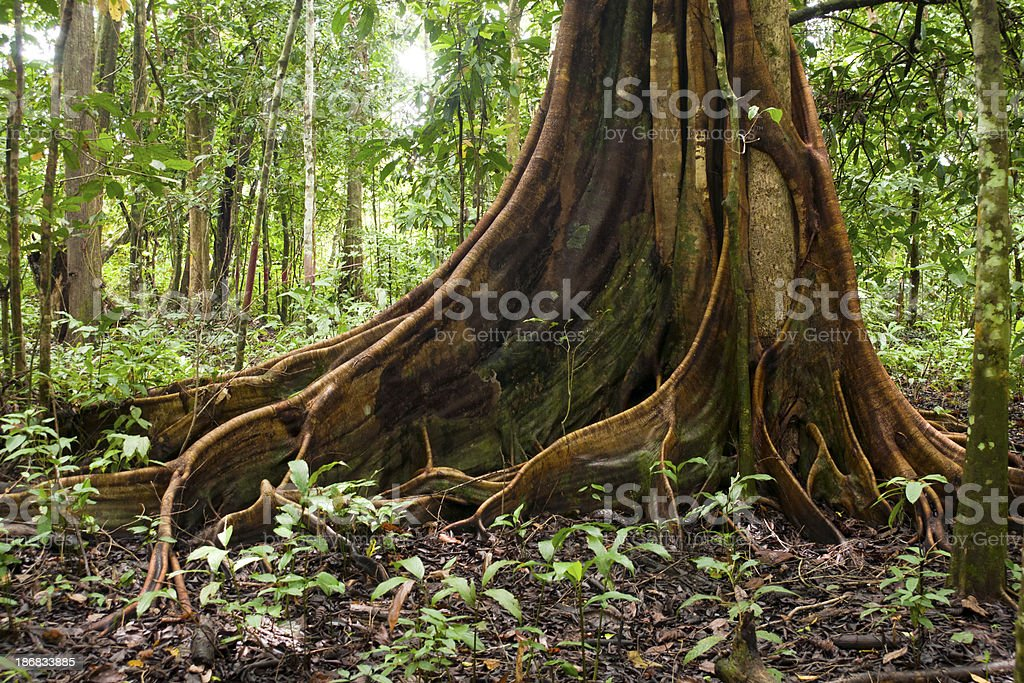 Buttress root tree in tropical forest royalty-free stock photo