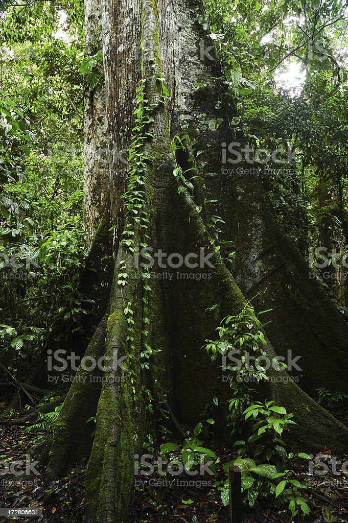 Buttress Roots in Amazon royalty-free stock photo