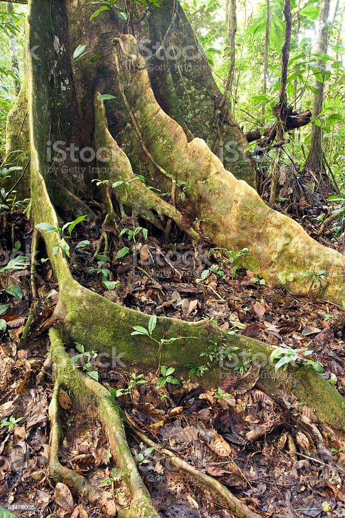 Buttress roots of a rainforest tree stock photo
