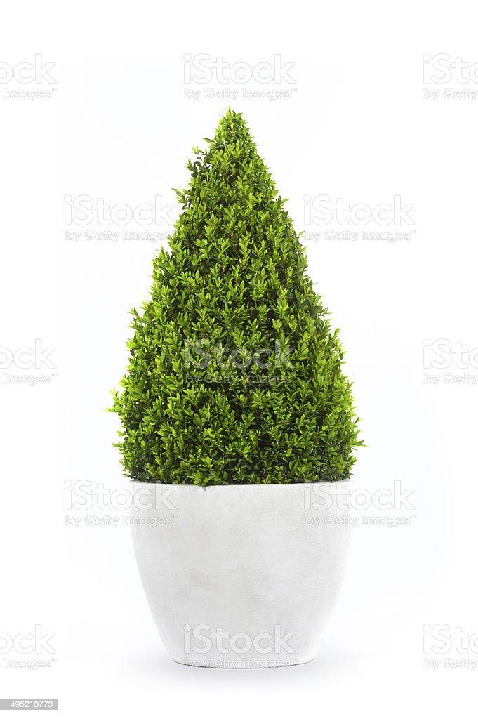 Buxus cone stock photo