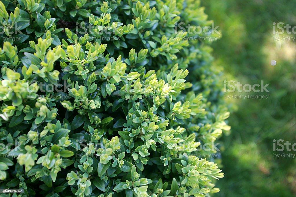 buxus hedge stock photo