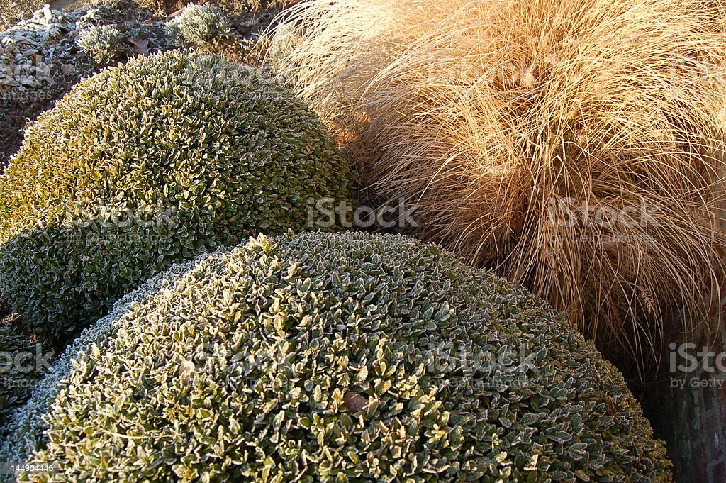 Buxus stock photo