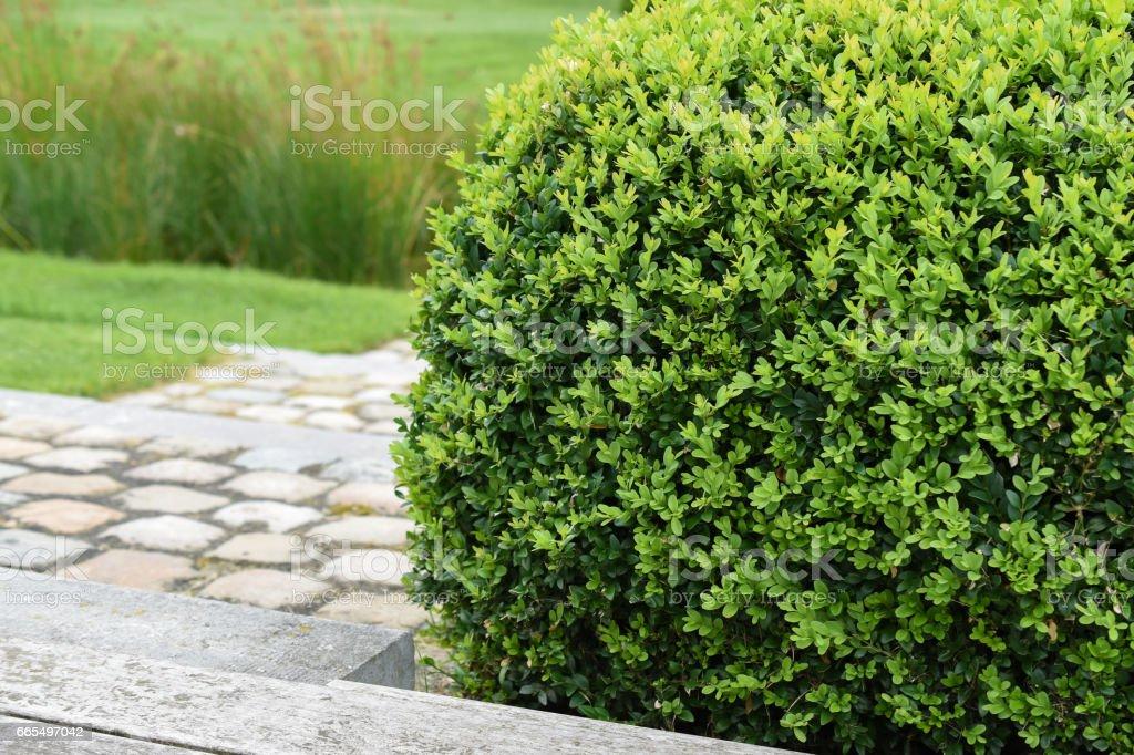 Buxus Sempervirens, plante de buis - Photo